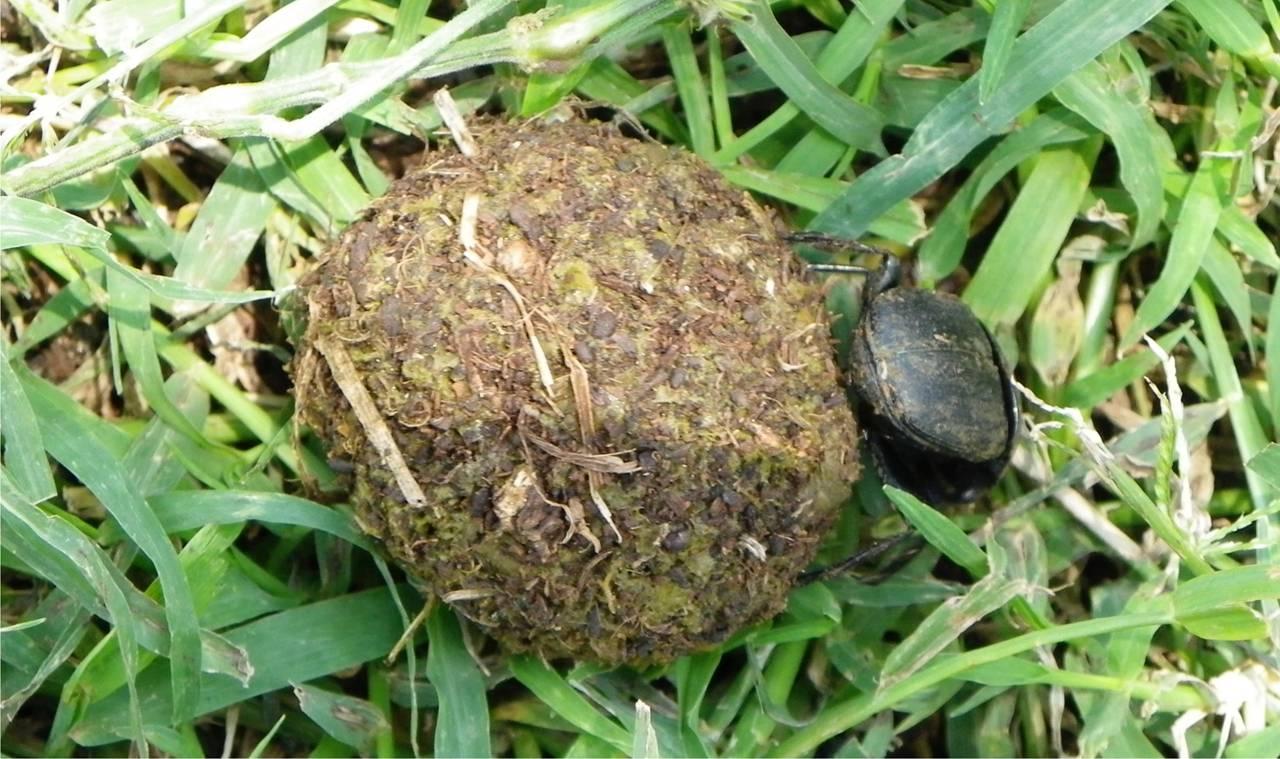 Dung beetle in Kenya.